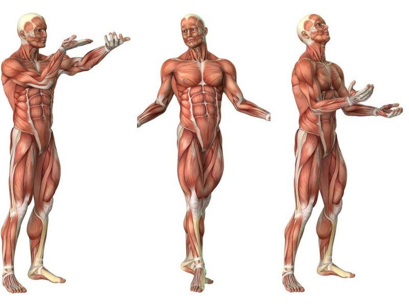 Tonificazione muscolare anatomia